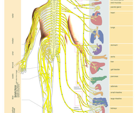 How Chiropractic Spinal Nerve Charts Can Improve Treatments